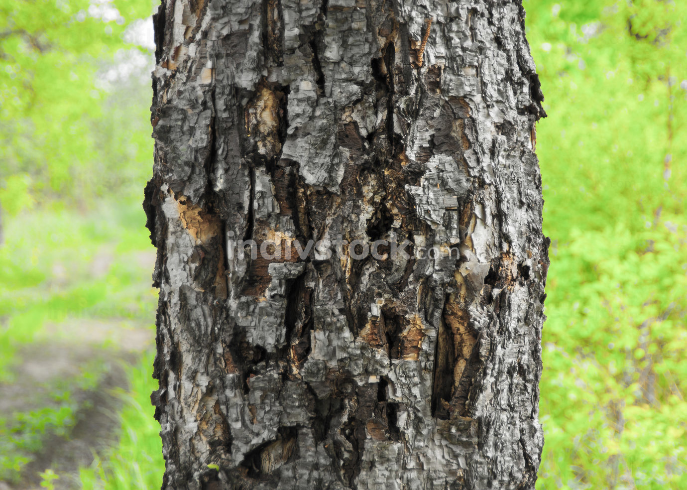 The tree dies, the bark dries up