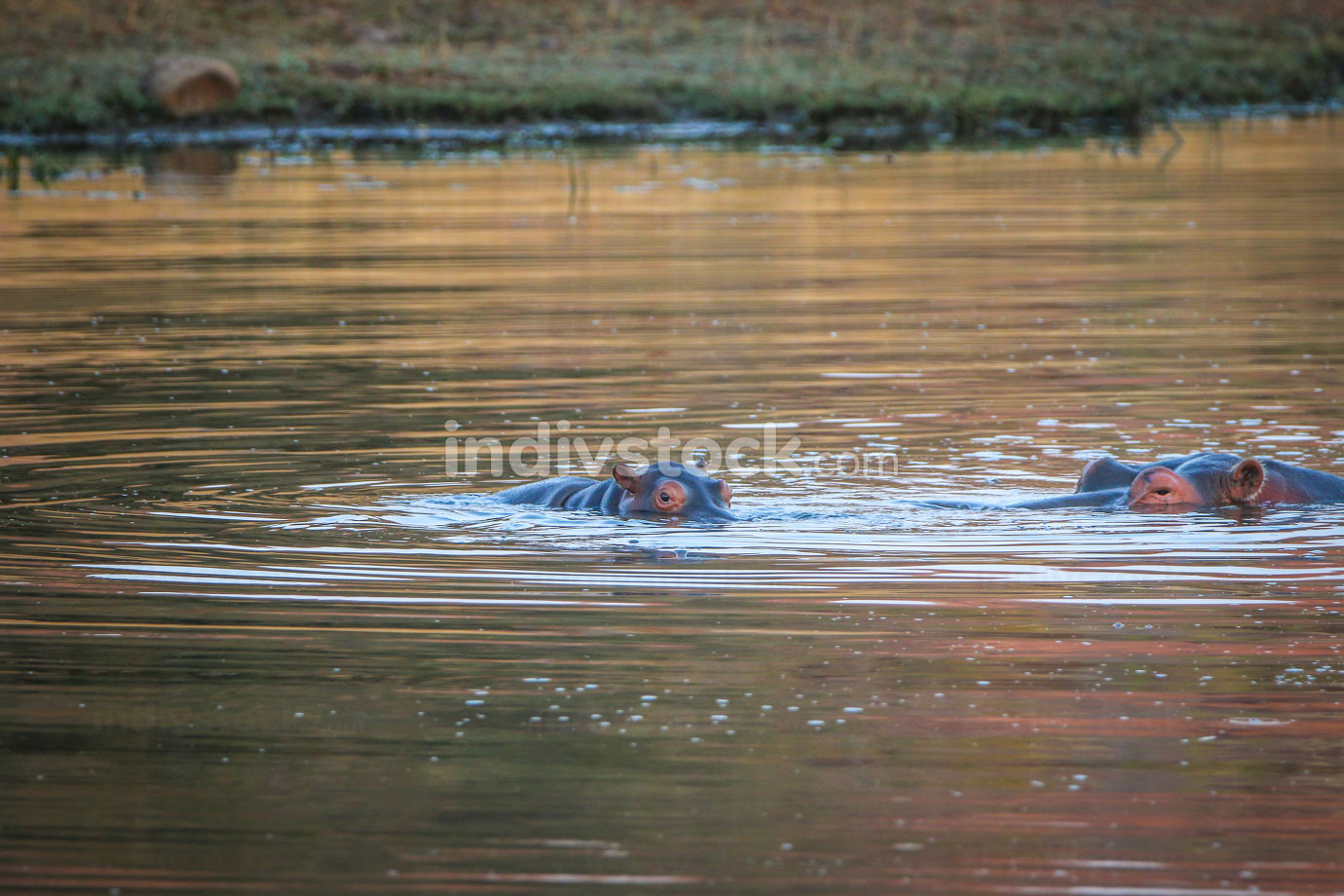 Two Hippos standing in the water.