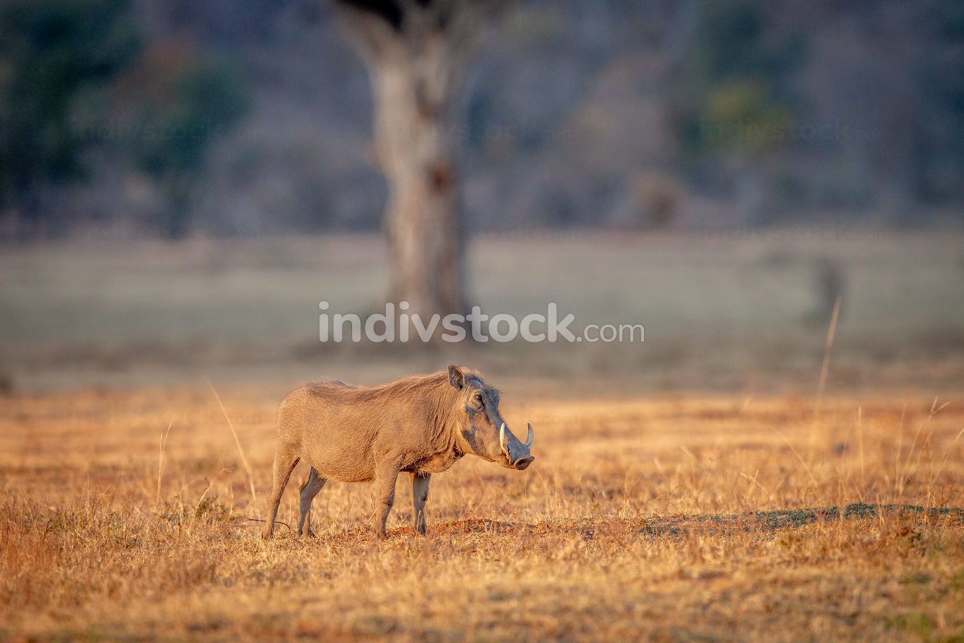 Warthog standing in the grass.