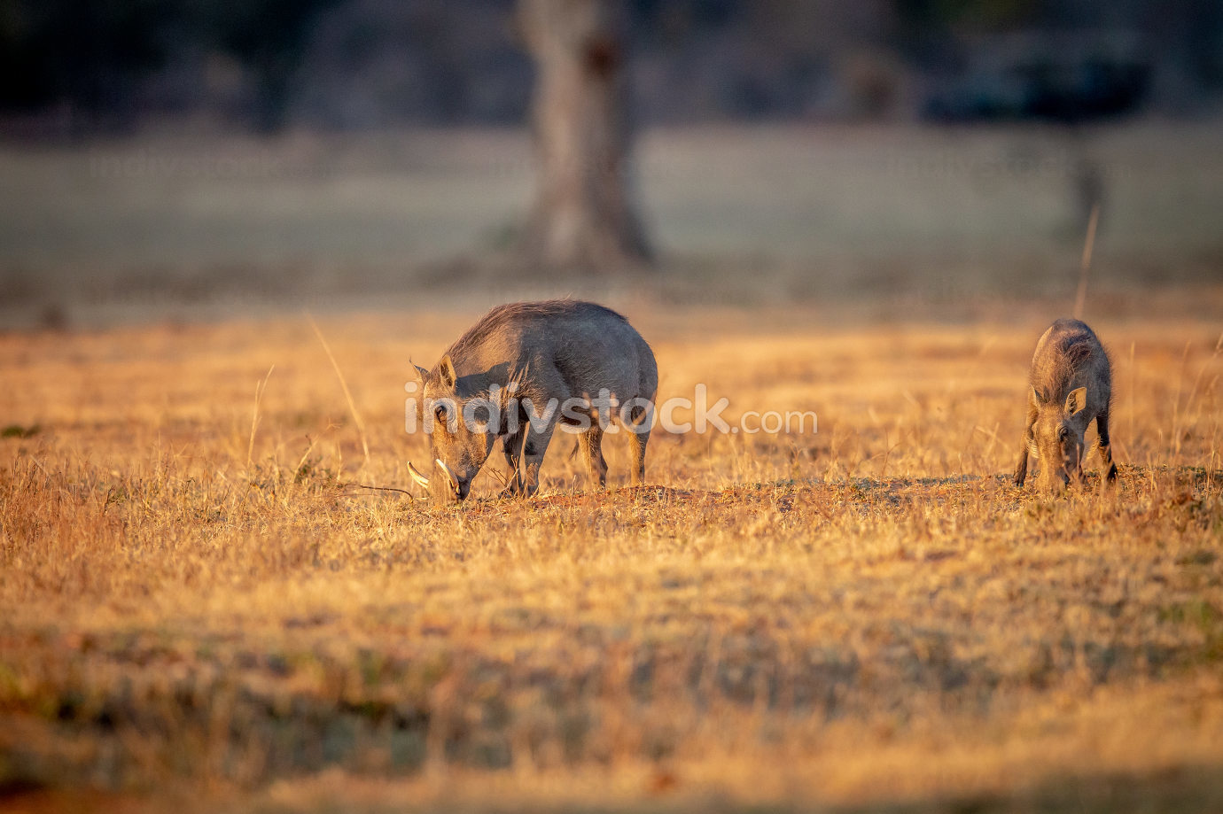 Warthog standing in the grass and grazing.