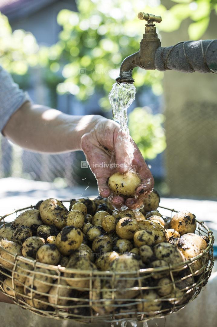 Washing freshly harvested potatoes