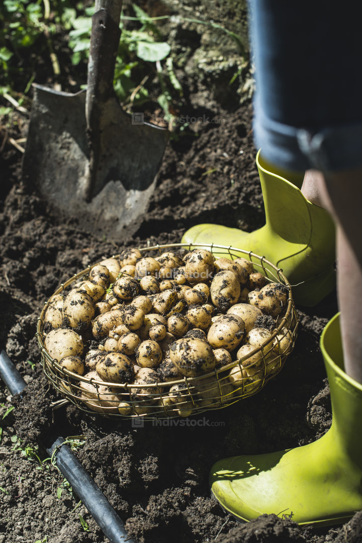 Woman harvest potatoes in the garden
