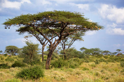 A big acacia tree between another bushes and plants