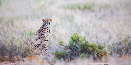 A cheetah is sittin in the middle of the grass