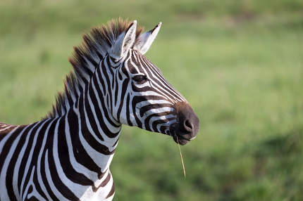 A closeup of a zebra in a national park