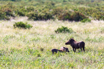 A family of warthogs in the grass of the Kenyan savannah