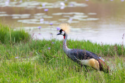 A gray-necked crowned crane stands on the bank of a river