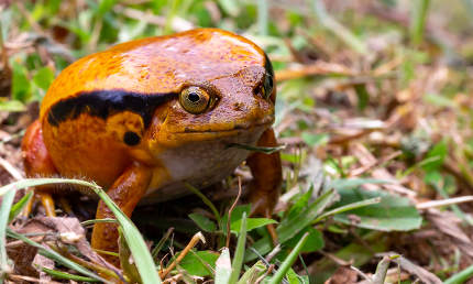 A large orange frog is sitting in the grass