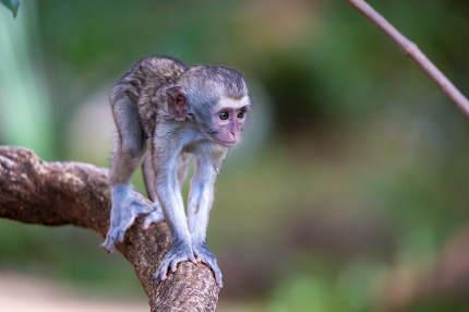 A little monkey walks along a branch