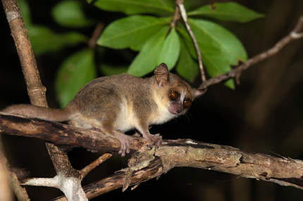 A little mouse lemur on a branch, taken at night