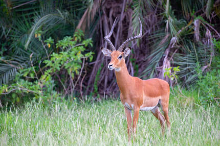 An antelope is standing in the grass in front of the bush