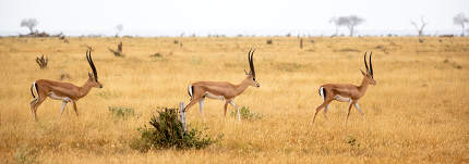 An antelopes in the grassland of the savannah of Kenya
