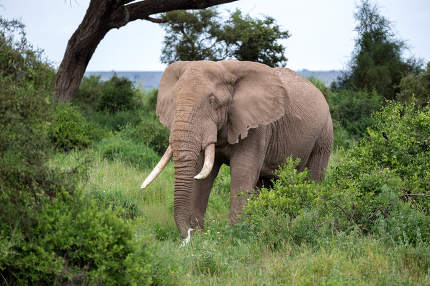 An elephant in the savannh of a national park