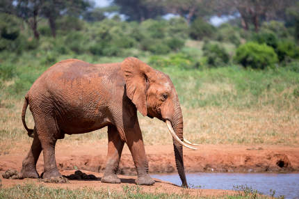 An elephant on the waterhole in the savannah of Kenya