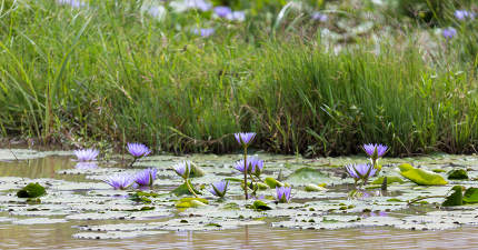 Beautiful purple flowers on the water of a lake