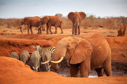 Big red elephants with some zebras on a waterhole, on safari in