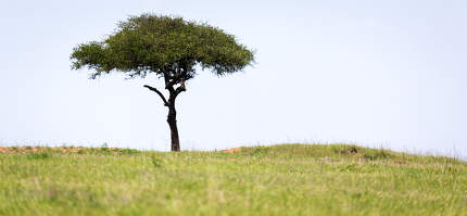 Big tree in the middle of the Kenyan savanna