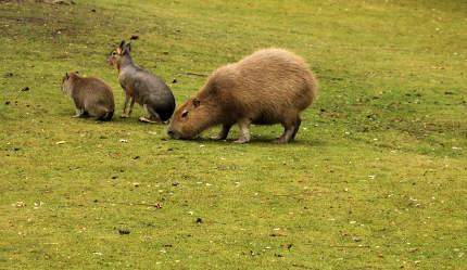 Busy capybara family outdoors,  on the green