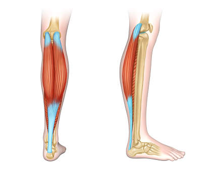 Calf muscles diagram.Back and side view of human calf muscles. Digital illustration.