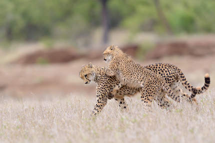 Cheetah playing portrait