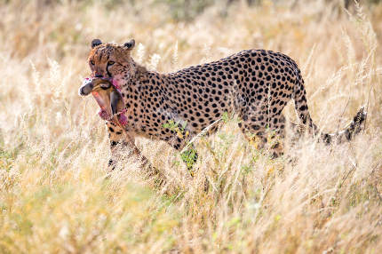 Cheetahs eating in the middle of the grass