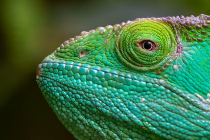 Close-up, macro shot of a green chameleon