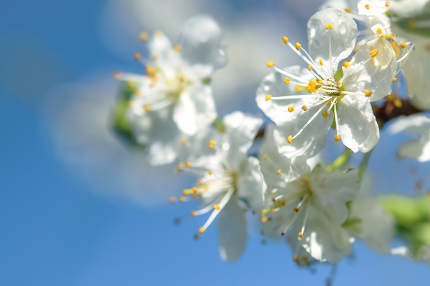 Close-up of delicate cherry tree flowers