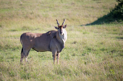 Eland, the largest antelope, in a meadow in the Kenyan savanna