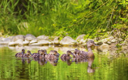 Female mallard duck, anas platyrhynchos, and ducklings