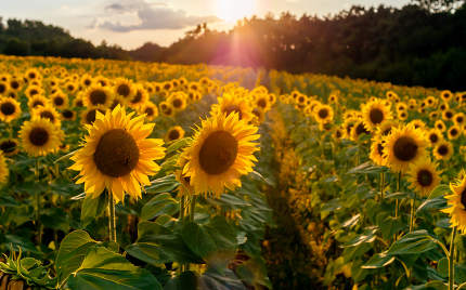 Field of sunflowers. Sunflowers flowers. Landscape from a sunflo