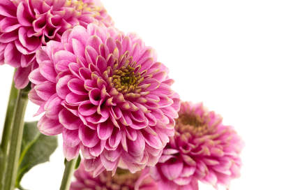 Fresh pink flower on a white background