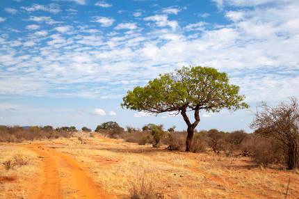 Green tree near the red soil way, scenery of Kenya