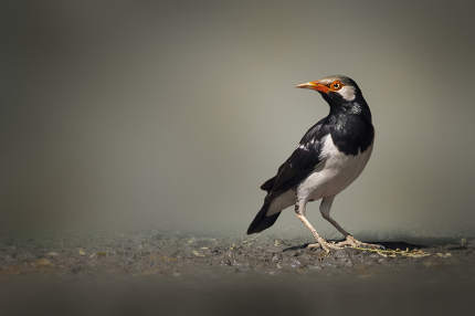 Image of Asian pied myna bird or Pied starling on nature backgro
