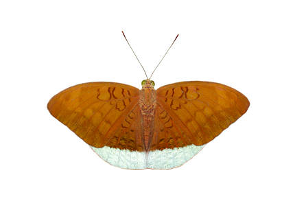 Image of male common earl butterflies(Tanaecia julii odilina) is