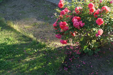 lawn sowing and garden roses in early summer