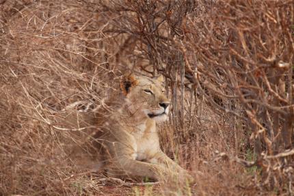 Lion a resting in the bush, on safari in Kenya
