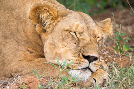 Lioness is sleeping in the grass of the savanna