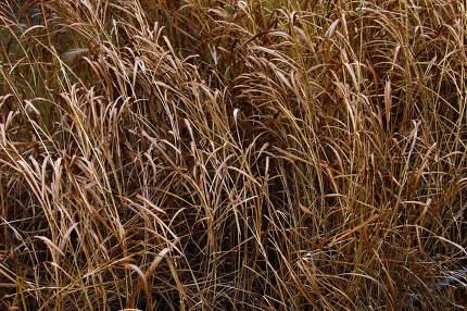 Long dry grass