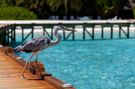 Maldives, a local bird is standing on the bridge