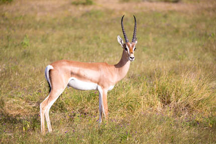 Native antelopes in the grasland of the Kenyan savannah
