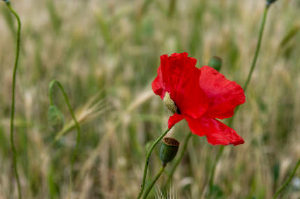 Selective focus of the beautiful common red poppy flower