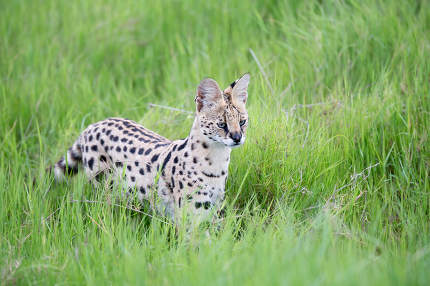 Serval cat in the grassland of the savannah in Kenya