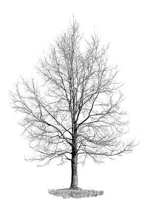 Silhouette of dry oak tree