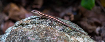Small lizard on the stone with a beautiful color