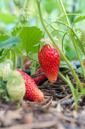 Strawberries. Natural, organic strawberries with green leaves sp