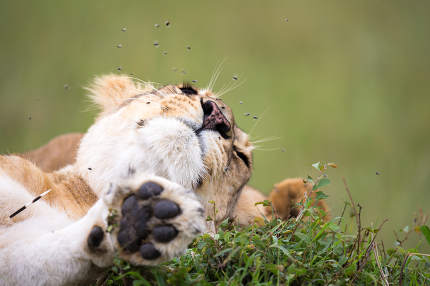 The mouth of a lioness with many flies