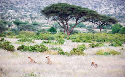 Three cheetahs are sitting in the grass