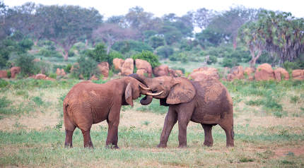 Two big red elephants try to fight each other with the trunks