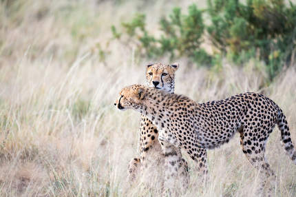Two cheetahs clean each other's fur in the tall grass