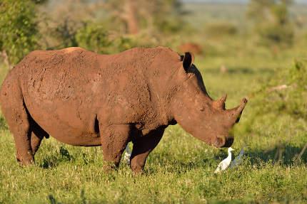 White rhino in the wilderness